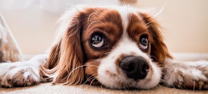 que enfermedades transmiten los parasitos a las mascotas y a los humanos