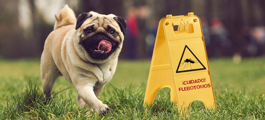 Leishmaniasis canina: causas, síntomas y prevención