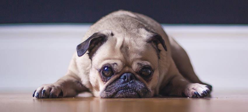 ¿Por qué aparece el estrés por separación en perros?