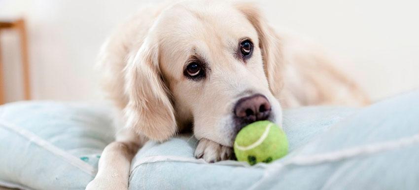 ¿Cómo prevenir la filariosis canina o gusano del corazón?
