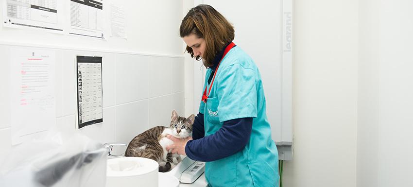 Vacunas Gatos Calendario.Calendario De Vacunas De Un Gato