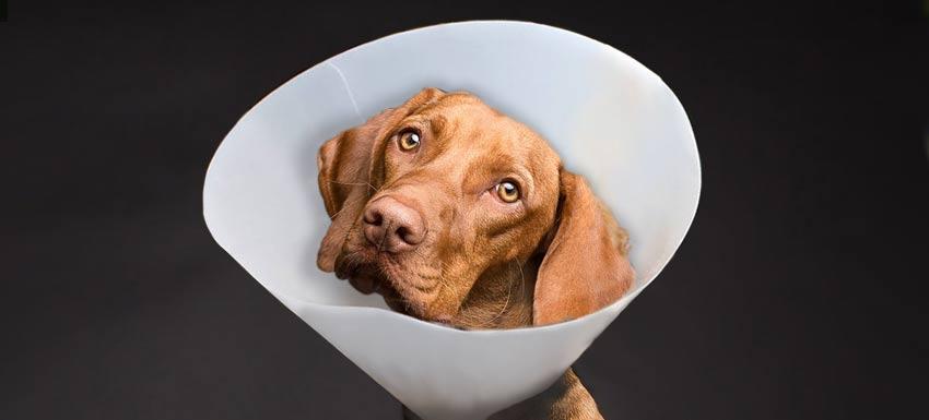 Cuidados de los perros tras esterilizacion