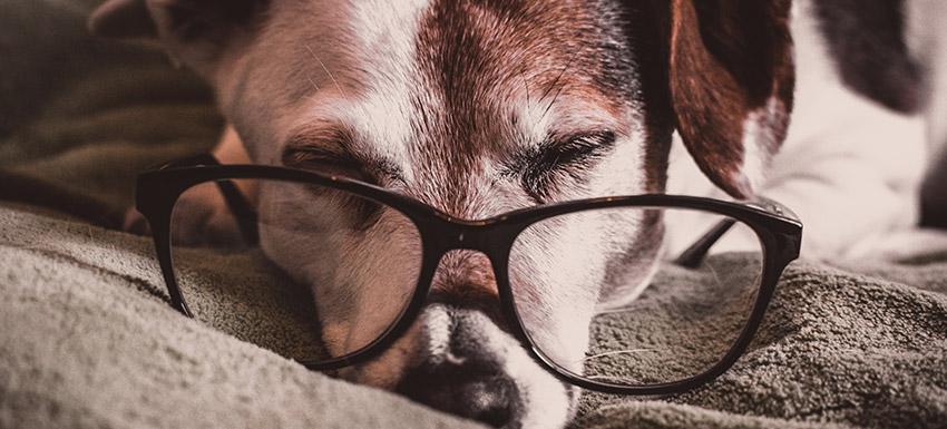 ¿Cómo identificar los signos de envejecimiento de un perro o gato?