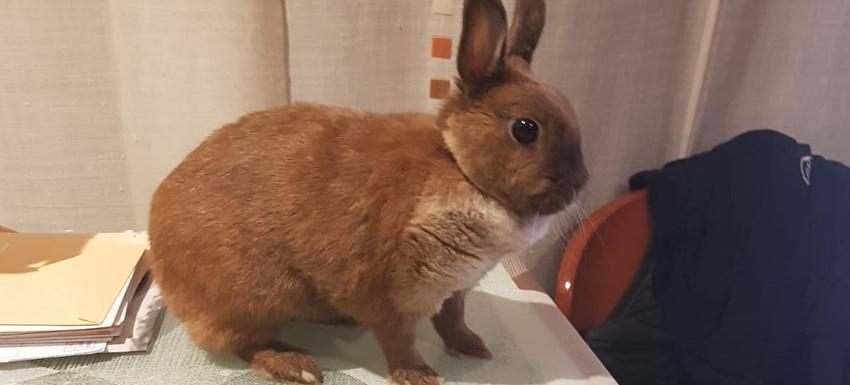 Cistotomía y extracción de urolitos en la vejiga de un conejo