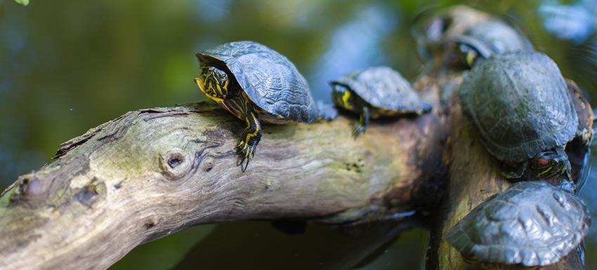 Consejos y cuidados para tortugas acuáticas