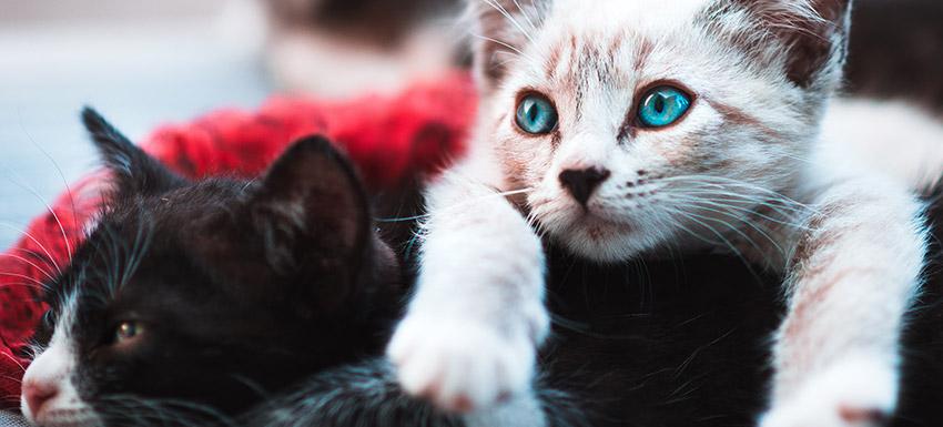 ¿Cuál es la mejor edad para esterilizar a un gato o gata?