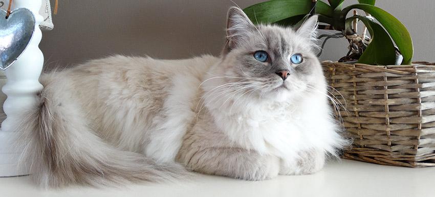Cómo saber si mi gato tiene sobrepeso