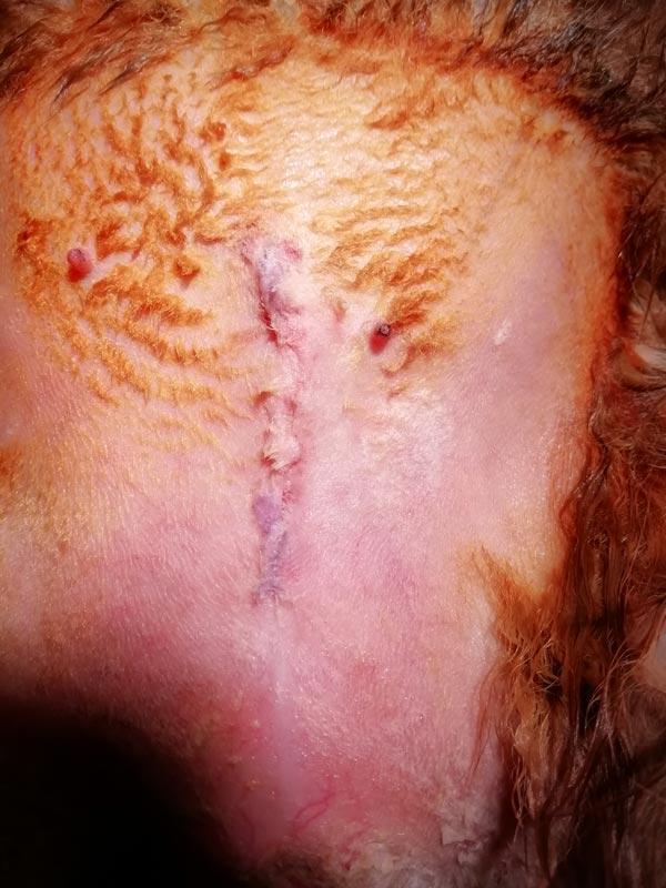 Cierre de incisión tras operación de extracción de urolitos en conejo.