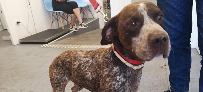 Tratamiento médico a un perro con dirofilaria