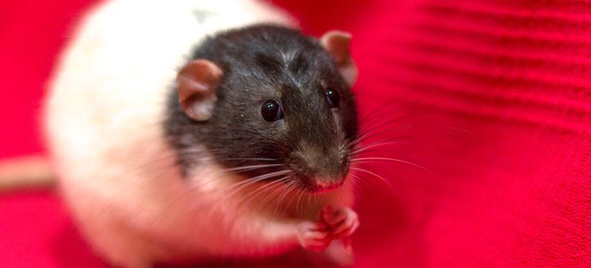 Bulto que crece rápido en una rata dumbo