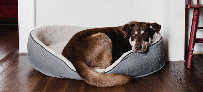 ¿Tu perro tiene insomnio?