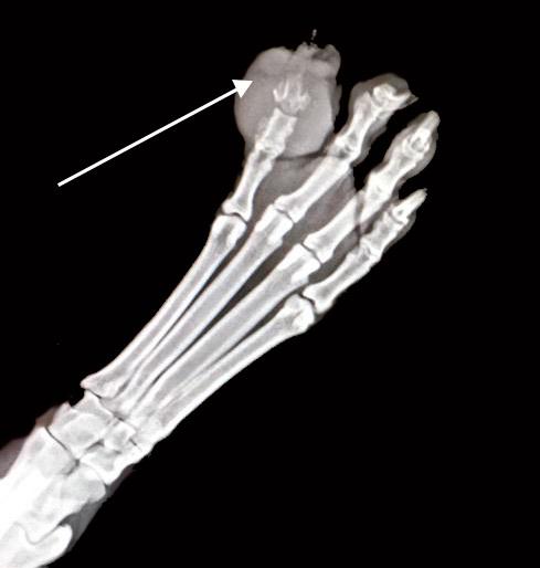 Radiografía de la masa ulcerada en la falange de un perro
