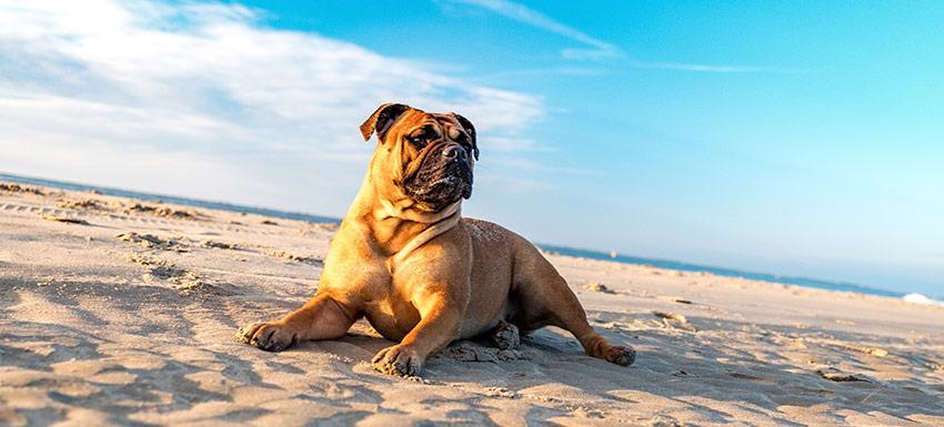 como-proteger-perros-del-sol