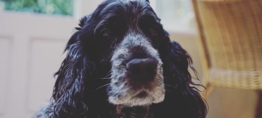 Caso Clínico Coker Spaniel - clínicas veterinarias Kivet