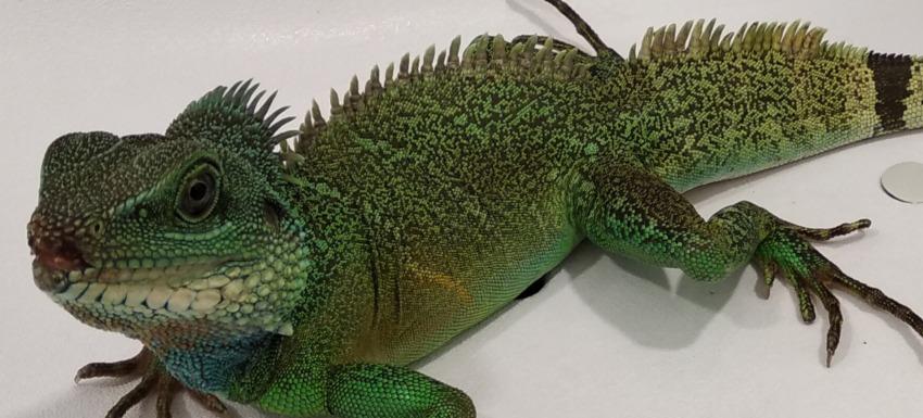 herida boca dragon chino en kivet cuidamos de tu mascota exotica