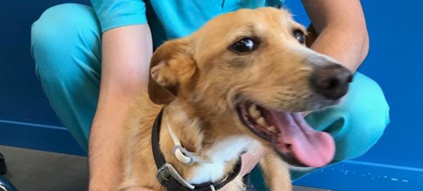 podenco andaluz - clínicas veterinarias kivet