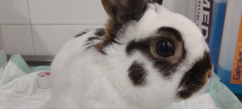 operacion fractura metacarpo conejo toy en kivet