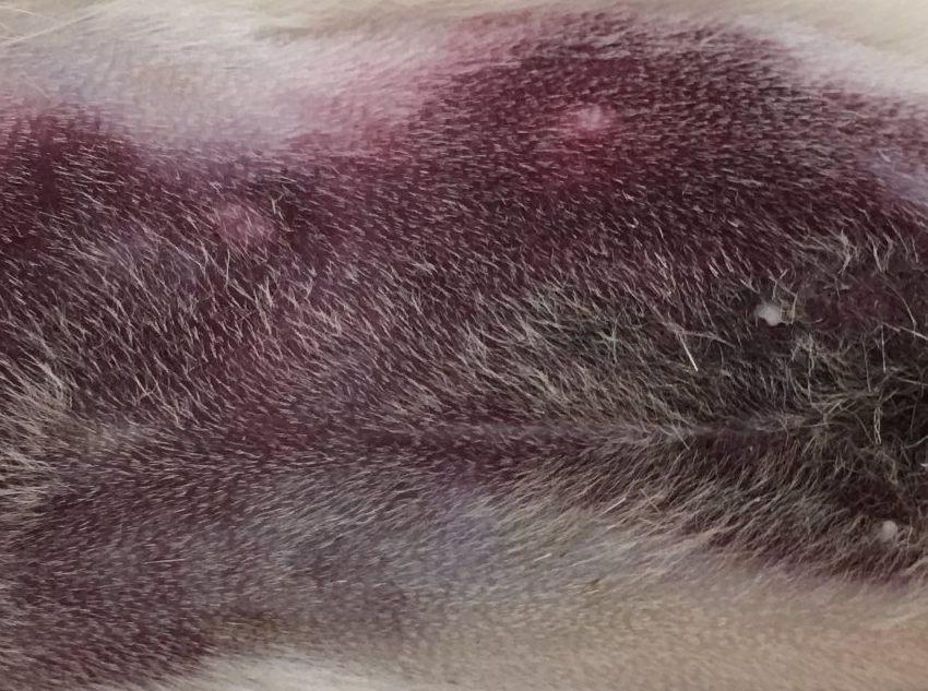 Imagen de un hematoma en abdomen en un  hurón