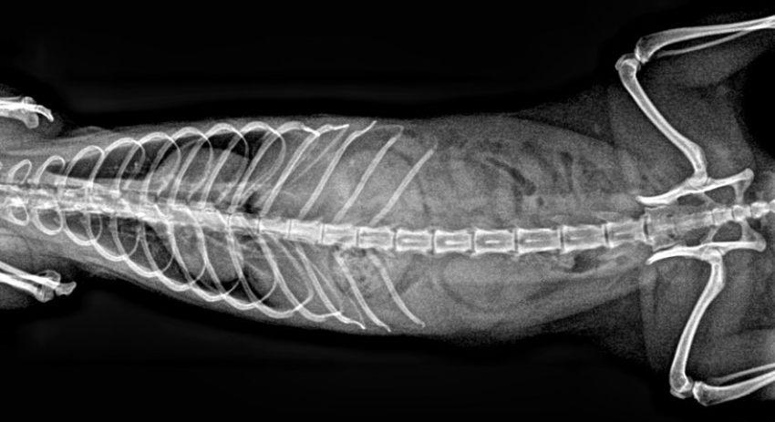 Radiografía de tórax y abdomen en un hurón