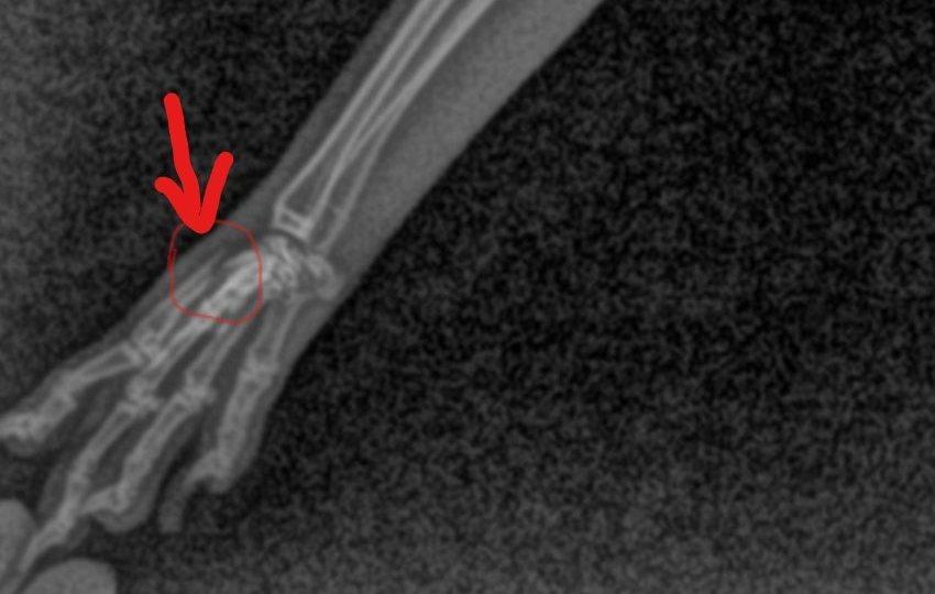 Radiografía de una fractura en el metacarpo de un conejo toy.