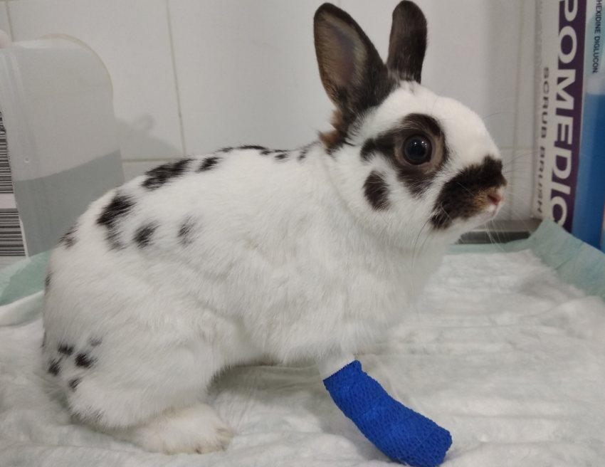 caso-clinico-fractura-metacarpo-conejo-toy-conejo-con-vendaje