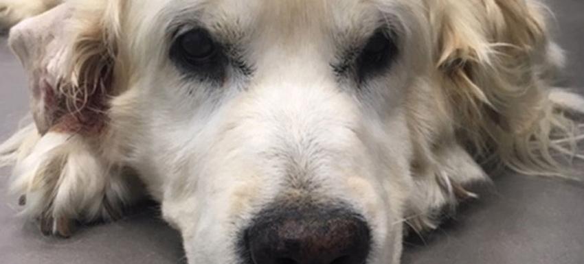 Ovariohisterectomía y resección de mamas a una perra