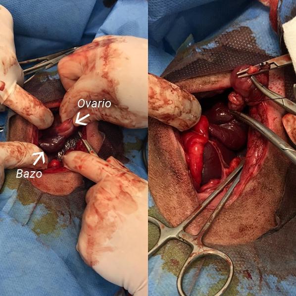 Operación quirúrgica de una extirpación preventiva de ovarios y bazo ectópico en galga