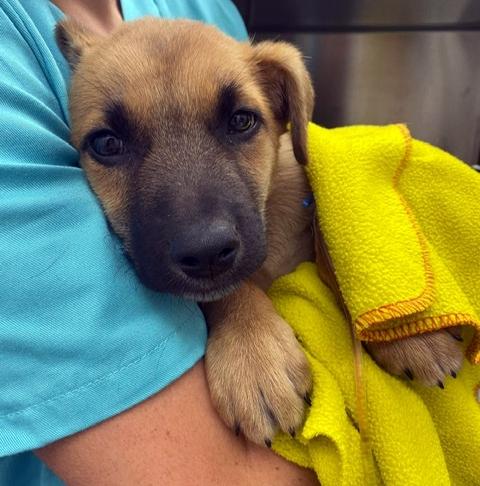 Cachorro de dos meses que tragó un juguete y se procedió a extraérselo quirúrgicamente