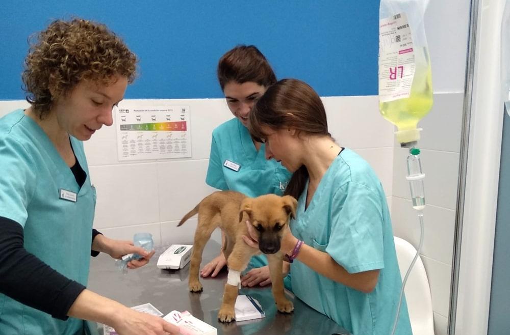 Veterinarios de la clínica Kivet de Vigo atienden a cachorro para extracción de cuerpo extraño en el intestino