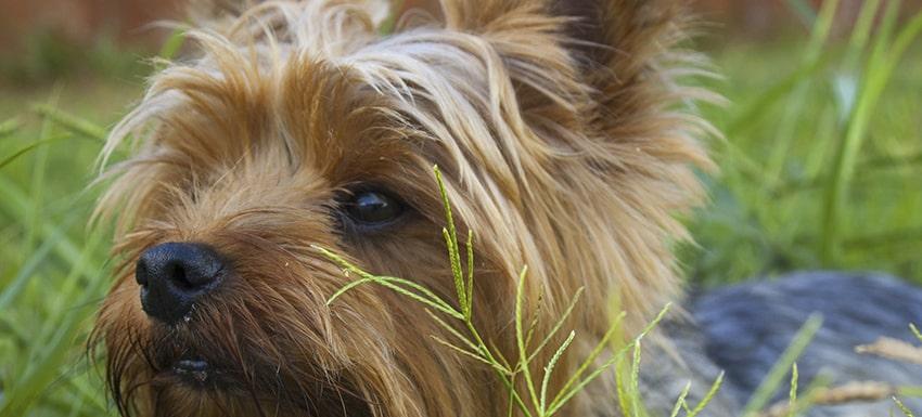 Caso clínico de yorkshire en clínica veterinaria Kivet