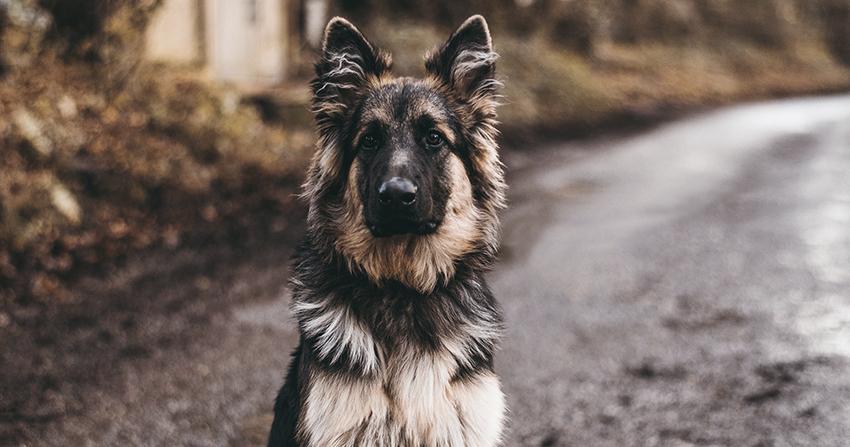 prevenir la displasia de cadera canina