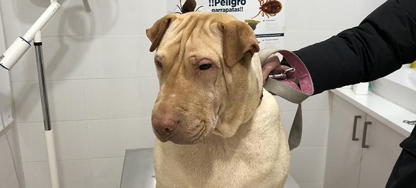 caso clínico mastocitoma canino