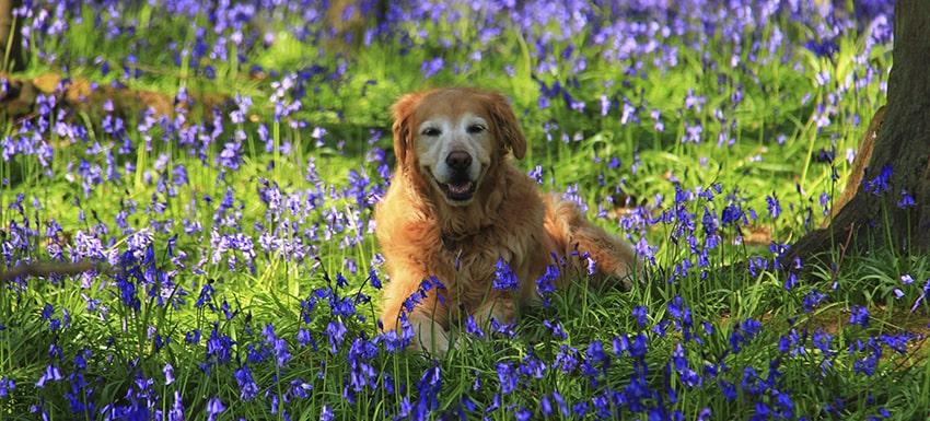 Alergias en perros