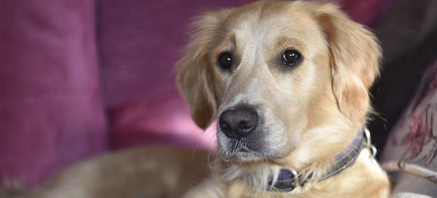perro con sarcoma en rodilla