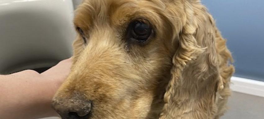 perro adulto con extraña masa en la mandíbula