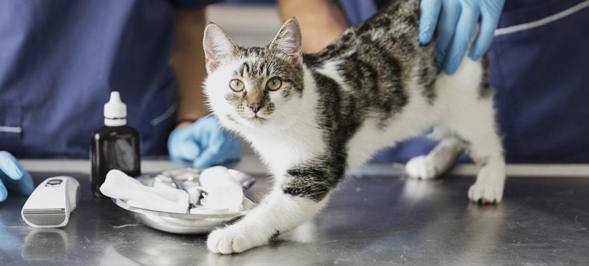 veterinario-gatito