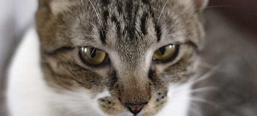 información gato con panleucopenia