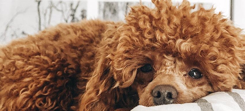 perro con insuficiencia renal