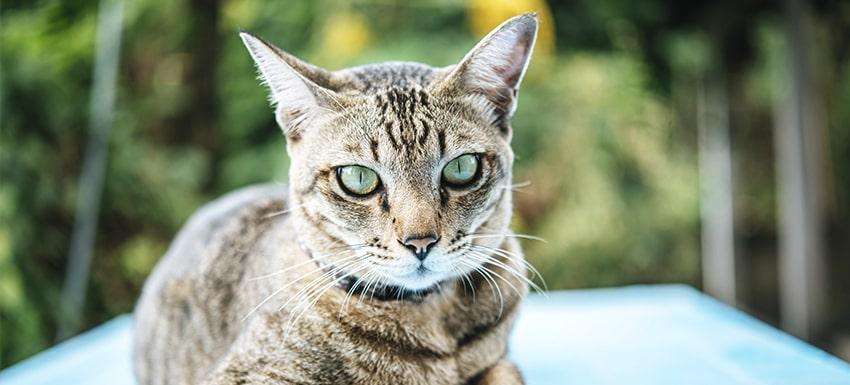 cistititis en gatos